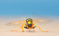 European giant hornet Royalty Free Stock Photo