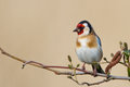 European Goldfinch Royalty Free Stock Photo