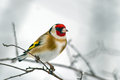 European Goldfinch (Carduelis carduelis) Royalty Free Stock Images