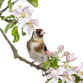 European goldfinch carduelis carduelis perched on a flowering branch isolated white Royalty Free Stock Photo