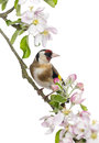 European goldfinch carduelis carduelis perched on a flowering branch isolated white Royalty Free Stock Photos