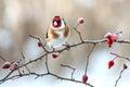 European Goldfinch. Royalty Free Stock Photo