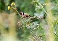 European Goldfinch Perched On Flower Stem B Royalty Free Stock Photo