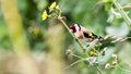 European Goldfinch Perched On Flower Stem A Royalty Free Stock Photo