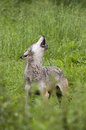 European gray wolf howling canis lupus lupus germany Stock Photos
