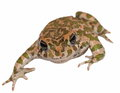 European green toad, Bufo viridis Royalty Free Stock Photos
