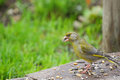 European Greenfinch bird eating sunflower seeds on the ground, E Royalty Free Stock Photo
