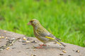European Greenfinch bird in yellow green color eating sunflower Royalty Free Stock Photo