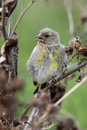 European Greenfinch, Carduelis chloris Royalty Free Stock Image