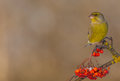 European Greenfinch - Carduelis chloris Royalty Free Stock Photo