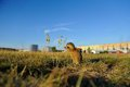 European ground squirrel close to city with buildings in background Stock Photography