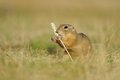 European ground squirrel with ear of avena eating in the grass Stock Image
