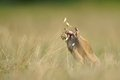 European ground squirrel with ear of avena eating in the grass Stock Photography