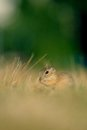 European ground squirrel with ears of avena on the golden grass green background Stock Photos