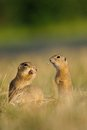 European ground squirrel with ears of avena on the golden grass green background Royalty Free Stock Images
