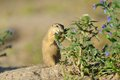 European ground squirrel in the flowers Royalty Free Stock Photo