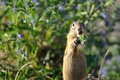 European ground squirrel in the flowers Royalty Free Stock Images