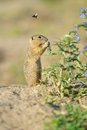 European ground squirrel in the flowers purple Royalty Free Stock Photo
