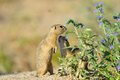 European ground squirrel in the flowers purple Stock Photography