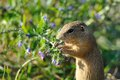 European ground squirrel in the flowers purple Stock Photo