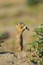 European ground squirrel in the flowers purple Royalty Free Stock Photos