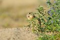 European ground squirrel in the flowers purple Stock Image