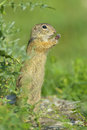 European ground squirrel spermophilus citellus Royalty Free Stock Photo