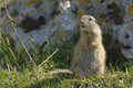 European ground squirrel spermophilus citellus Stock Image