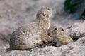 European ground squirrel Spermophilus citellus Royalty Free Stock Photo