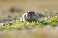 European ground squirrel standing in the yellow grass Stock Photos