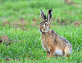 European hare Royalty Free Stock Photo