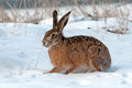 The European hare (Lepus europaeus) Stock Photos