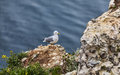The European Herring Gull on the Etretat Cliffs Stock Images