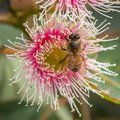 European Honey Bee Feeding on Bright Pink Eucalyptus Flowers, Sunbury, Victoria, Australia, October 2017 Royalty Free Stock Photo