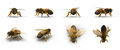 European honey bee, renders set from different angles on a white. 3D illustration Royalty Free Stock Photo