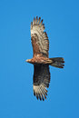 European Honey Buzzard (Pernis...