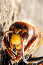 European hornet Stock Images