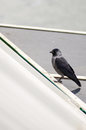 European jackdaw corvus monedula monedula on a roof Stock Photos