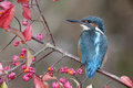 European kingfisher alcedo atthis female west midlands uk Stock Images