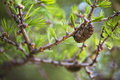 European larch close up with selective focus in springtime Royalty Free Stock Image