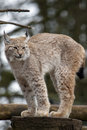 European Lynx Royalty Free Stock Images