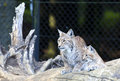 European lynx with cub a sitting on a log her Royalty Free Stock Photos