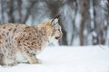 European lynx eating with eat in the forest february norway Royalty Free Stock Photo