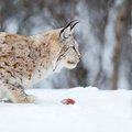 European lynx eating meat with food in the mouth february norway Royalty Free Stock Photography