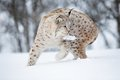 European lynx with meat in the mouth foot february norway Stock Image