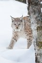 European lynx sneaking in the snow a walking winter forest february norway Stock Photos
