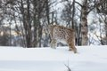 European lynx walking in the snow a cold winter february norway Stock Photography