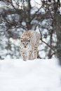 European lynx walking in the snow a sneaks winter forest february norway Stock Photography