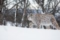 European lynx walking in the snow a winter february norway Royalty Free Stock Photography