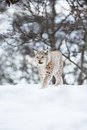 European lynx walks in snow a sneaks the winter forest february norway Stock Photography